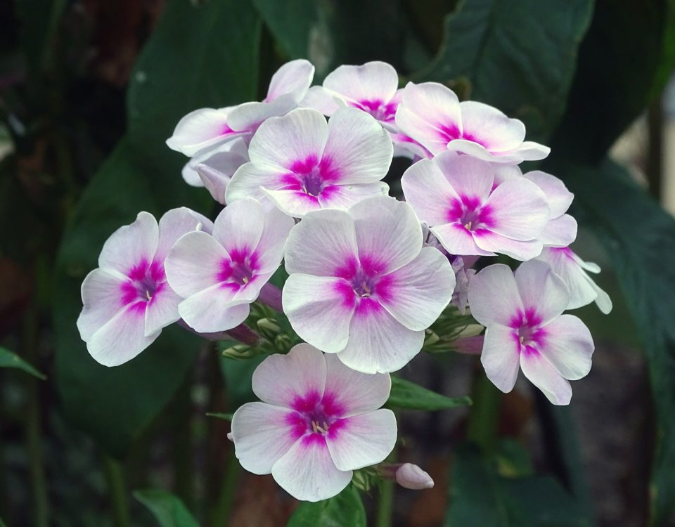 planta miraculoasa